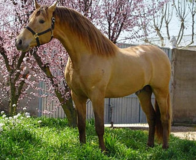 Animal Imagery In the Pearl Awesome 39 Best Horse S Pearl and Champagne Colors Images On