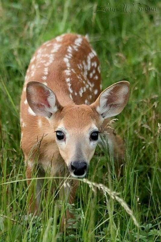 Animal Imagery In the Pearl New 17 Best Images About ♡ Deer & Fawn ♡ On Pinterest