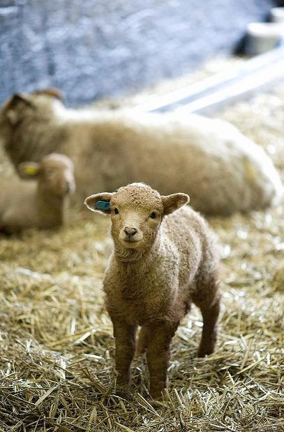 Animal Imagery In the Pearl Unique Sheep ♥ ♥ Mary S Little Lambs Pinterest
