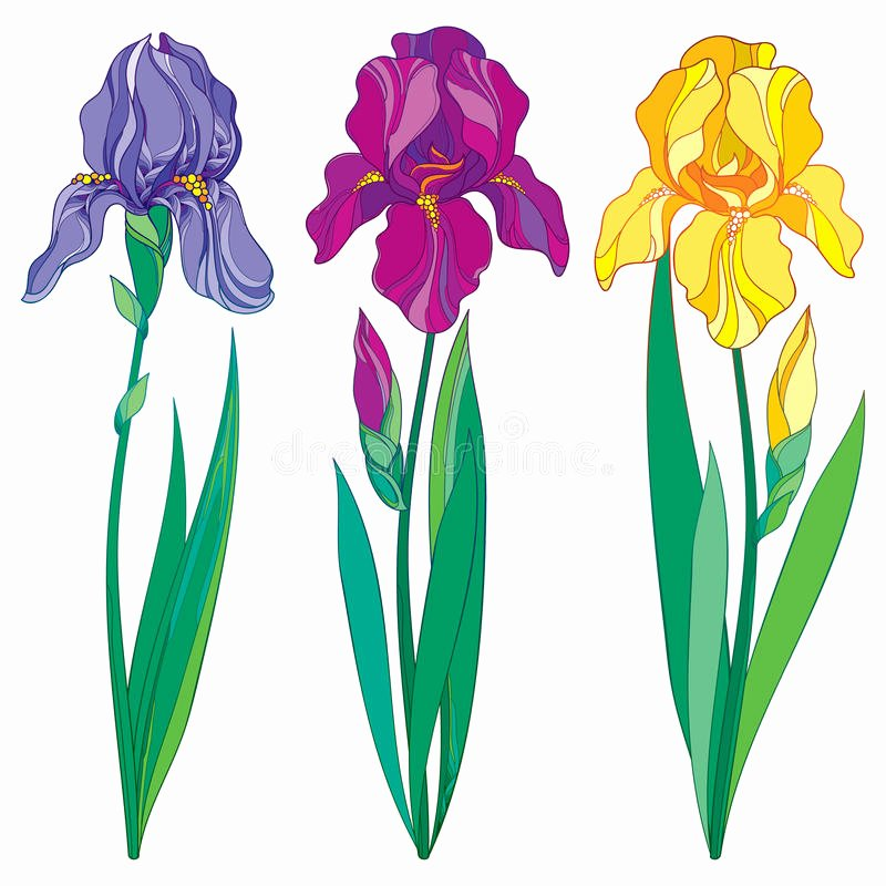 Iris Flower Outline Awesome Vector Set with Outline Purple Lilac and Yellow Iris