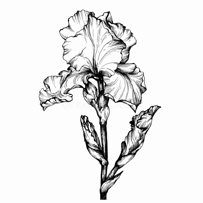 Iris Flower Outline Best Of Graphic the Branch Flower Iris Coloring Book Page Doodle