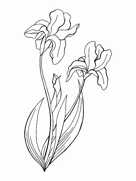 Iris Flower Outline Fresh Iris Plant Flower Outline Silhouette Clip Art Vector