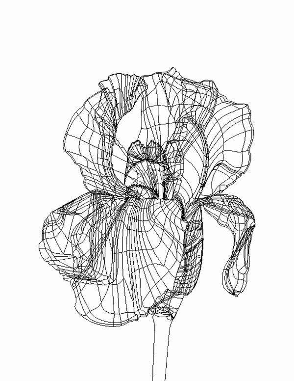 Iris Flower Outline Inspirational Iris Illustration On Behance