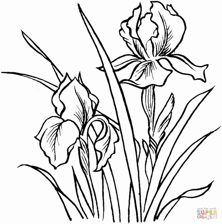 Iris Flower Outline Lovely 1038 Best Images About Drawing Flowers Tutorials
