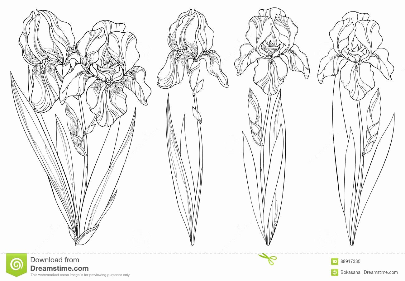 Iris Flower Outline New Vector Set with Outline Iris Flower Bud and Leaves In