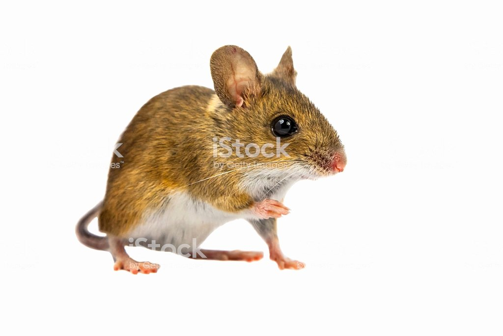 Mouse Cut Out Elegant Cut Out Field Mouse Stock Photo