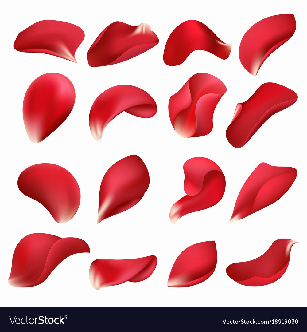 Rose Petal Svg Beautiful Realistic Red Rose Flower Petals isolated On White